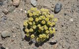 Man soll es nicht glauben: auf über 4.000 Metern wachsen Blumen. Nun unsere beliebten Quizfragen: Wie heißt die Pflanze und wie lange blüht sie schon?