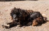 Alter tibetischer Klosterhund.